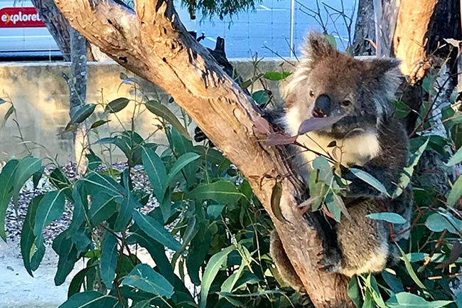 Koala at Yanchep National Park