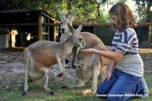 Kangaroo feeding at Caversham Wildlife Park
