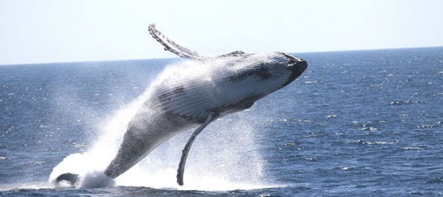Whale-Watching---Rottnest-Fast-Ferries---whale-jumping